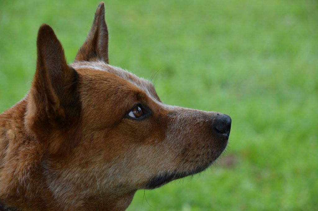 Australian Cattle Dog 03
